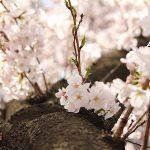 目黒川の桜 2014 #06:もうすぐ桜色