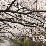 目黒川の桜 2014 #07:満開!