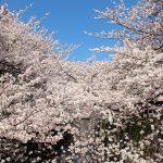 目黒川の桜 2014 #08:ちょっと散歩