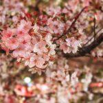 目黒川の桜 2014 #11:花冷え