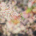 目黒川の桜 2014 #12:ポカポカ