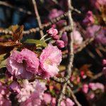 目黒川の桜 2014 #14:八重桜