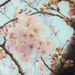 目黒川の桜 2015 #01:開花発表