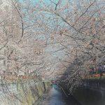 目黒川の桜 2015 #02:ぼんぼり点灯