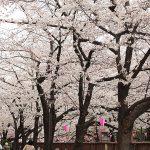 目黒川の桜 2015 #04:満開!