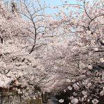 目黒川の桜 2015 #05:ぽっかぽか