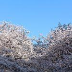 目黒川の桜 2015 #06:暖かくて気持ちいい!