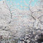 目黒川の桜 2015 #07:散りゆく桜