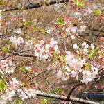 目黒川の桜 2015 #08:見納めかな