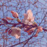 目黒川の桜 2016 #01:開花