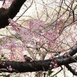 目黒川の桜 2016 #03:四分咲き