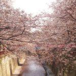 目黒川の桜 2016 #04:六分咲き