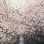 目黒川の桜 2016 #05:八分咲き・ほぼ満開