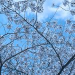 目黒川の桜 2016 #09:花吹雪