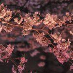 目黒川の桜 2016 #06:満開ですよ