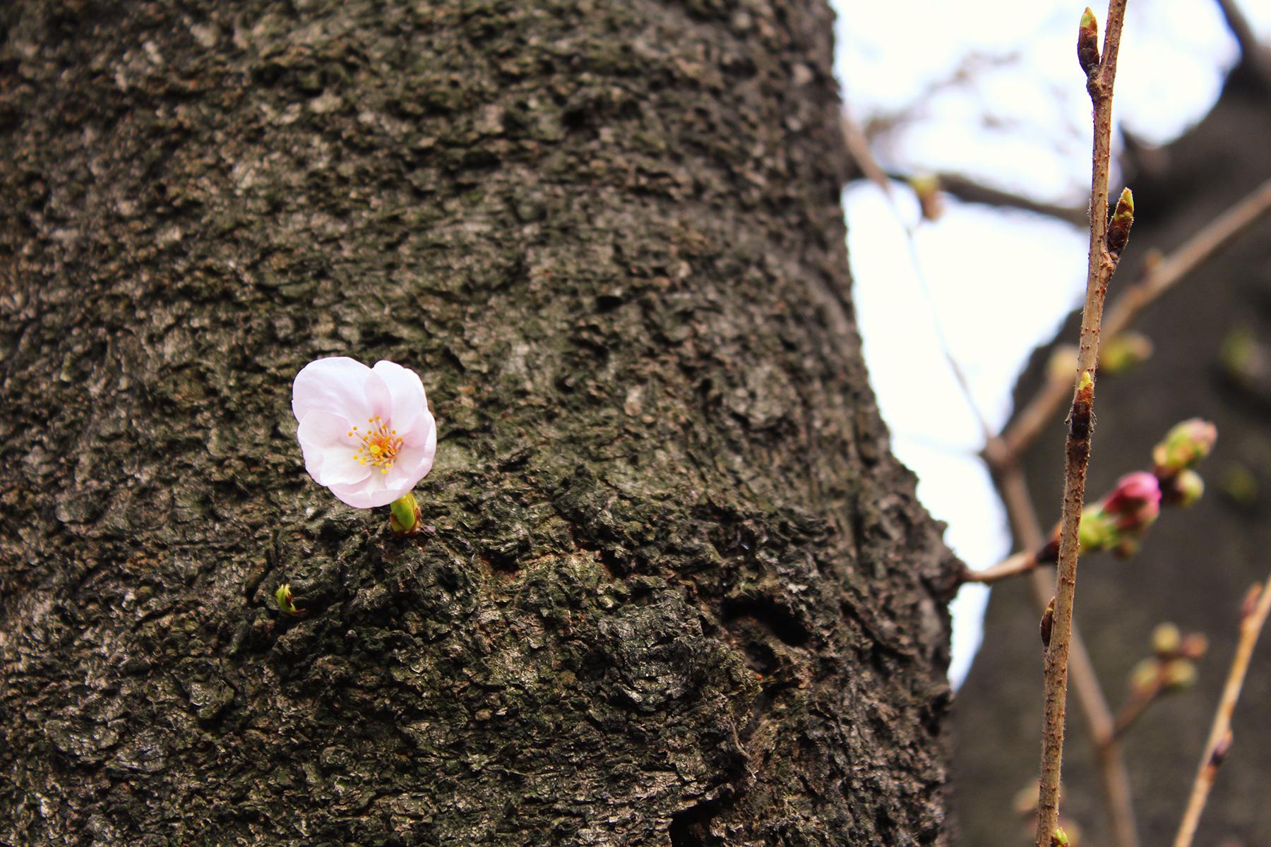 2017.03.18 目黒川の桜:予告編