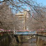目黒川の桜 2017 #01:まだまだ