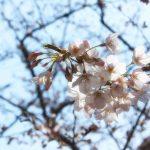 目黒川の桜 2017 #02:寒い日