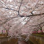 目黒川の桜 2017 #09:こちらも満開!