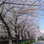 目黒川の桜 2017 #13:今年も感謝!