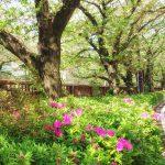 目黒川の桜 2017 #14:葉桜