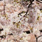 目黒川の桜 2017 #06:雨の中の桜