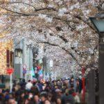 目黒川の桜 2017 #07:七分咲き