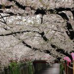 目黒川の桜 2017 #10:見頃!