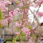 目黒川の桜 2017 #12:バトンタッチ!?