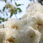 目黒川の薔薇 2017