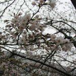目黒川の桜 2007 #4