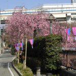 目黒川の桜 2007 #5