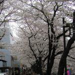 目黒川の桜 2007 #9