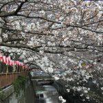 目黒川の桜 2008 #3