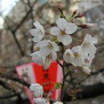 目黒川の桜 2009 #5