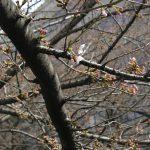 目黒川の桜 2010 #1
