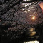 目黒川の桜 2010 #6