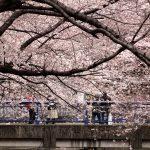 目黒川の桜 2011 #3
