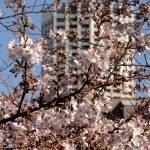 目黒川の桜 2011 #4
