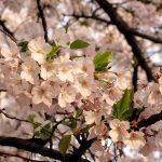 目黒川の桜 2011 #6