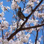 目黒川の桜 2013 #04:六分咲き