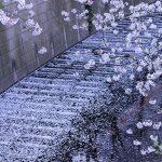 目黒川の桜 2013 #11:花吹雪