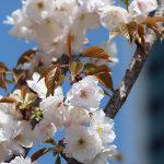 目黒川の桜 2013 #16:サクラ・シズカ