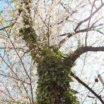 目黒川の桜 2014 #10:あと少し