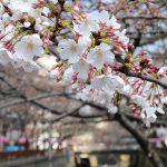 目黒川の桜 2016 #02:桜と猫