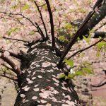 目黒川の桜 2016 #08:花嵐