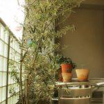 オリーブの挿し木 #2