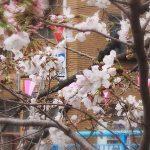 目黒川の桜 2018 #03:あっという間