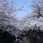 目黒川の桜 2018 #06:散りはじめ
