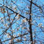 目黒川の桜 2018 #01:目黒川の桜は開花宣言!